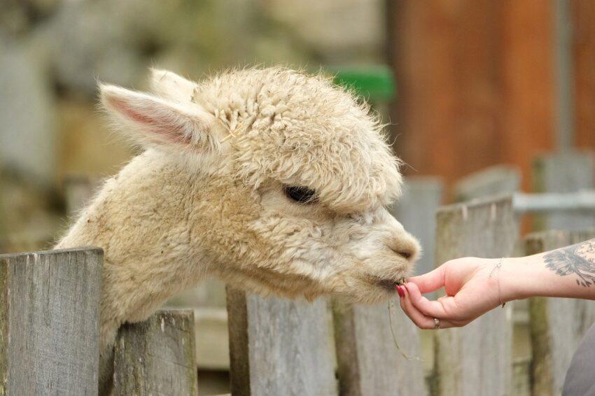 alpaca, white, head
