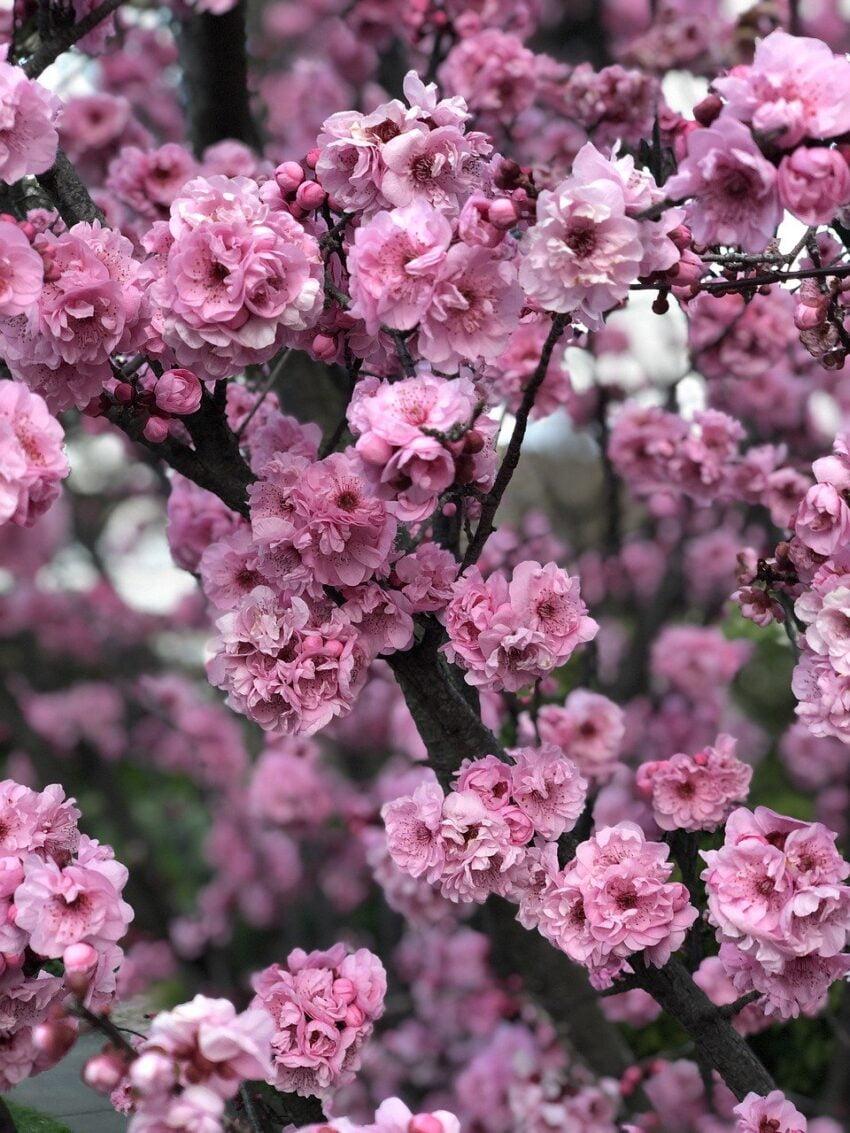 cherry blossom, flowers, tree