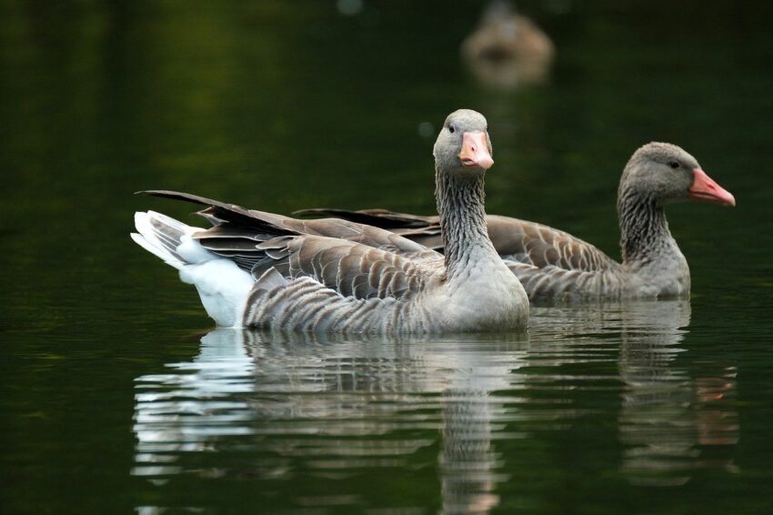goose, greylag goose, birds