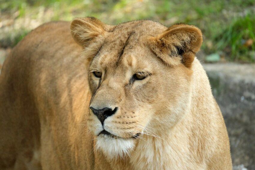 lioness, cat, predator